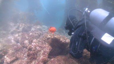 Diver watches Garibaldi fish (Hypsypops rubicundus) swims in kelp forest (near nest site?)
