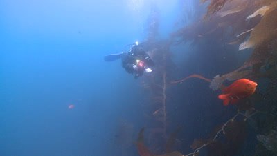Diver at edge of kelp forest shines torch at Garibaldi fish (Hypsypops rubicundus) e.t.c..