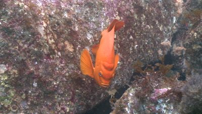 Garibaldi fish (Hypsypops rubicundus) forages in kelp forest with intermittent torch light
