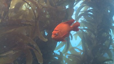 Garibaldi fish (Hypsypops rubicundus) swims in kelp forest