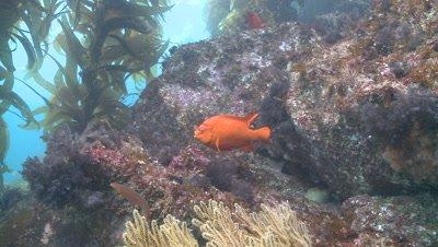 Garibaldi fish (Hypsypops rubicundus) forages in kelp forest