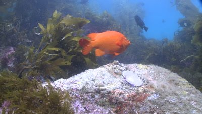 Garibaldi fish (Hypsypops rubicundus) swims in kelp forest, closer