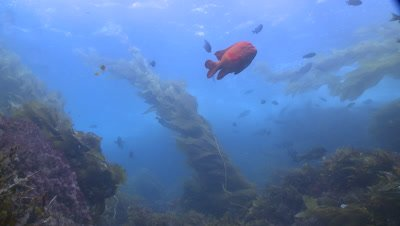 Garibaldi fish (Hypsypops rubicundus) swims in swell with weed moving in kelp forest
