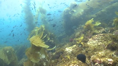 Kelp forest scenic with lots of fish