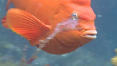 Garibaldi fish (Hypsypops rubicundus) forages in kelp forest, close