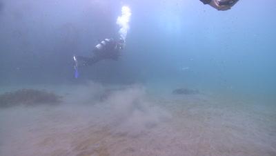 Divers and playful California sea lion (Zalophus californianus)