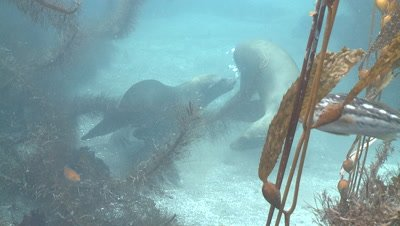 California sea lions (Zalophus californianus) playfight on sea bottom