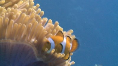 Clown anemone fish (Amphiprion ocellaris) in anemone, low angle. Defence strategy. Closer, especially nearer start