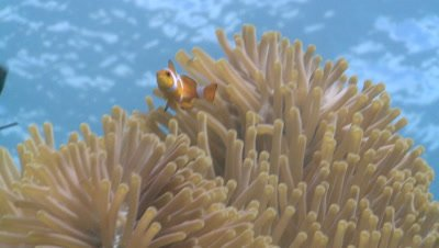 Clown anemone fish (Amphiprion ocellaris) in anemone, low angle. Defence strategy