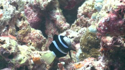 Anemone damsel fish (Amphiprion akindynos) in anemone. Defence strategy
