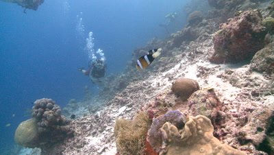 Divers/scientists approaches territorial anemone damsel fish (Amphiprion akindynos)