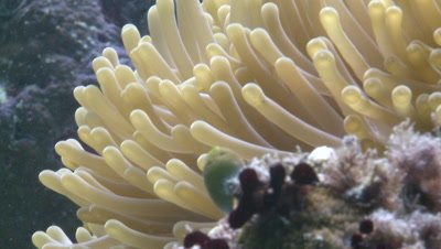 Amphiprion ocellaris - clown anemonefish in anemone - defence strategy.