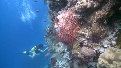Coral wall with divers/scientists move to sponge-like creature