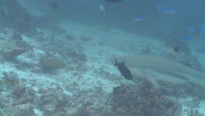 Lunar fusiliers (Caesio lunaris) school above Black-tipped reef sharks (Carcharhinus melanopterus), Maldives