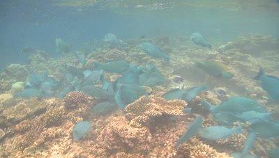 Parrotfish (unidentified species - possibly Scarus viridifucatus) school attacking reef. Feeding behaviour, Maldives