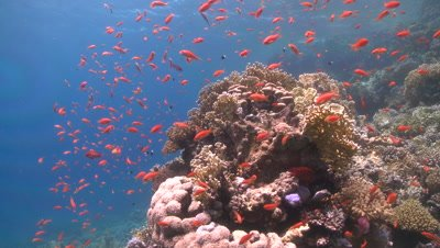 Coral goldfish (Anthias squamipinnis) move towards reef head - PART START TO CIRCA 30 SECONDS
