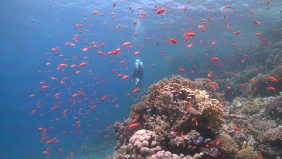Coral goldfish (Anthias squamipinnis) around reef head with diver swimming over - PART 25 seconds to circa 56 SECONDS
