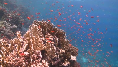 Coral goldfish (Anthias squamipinnis) around reef head - PART 10 seconds to circa 46 SECONDS
