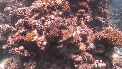 Titan triggerfish (Balistoides viridescens) wider feeding on coral with other reef fish