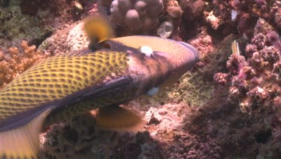 Titan triggerfish (Balistoides viridescens) close feeding on coral with other reef fish - PART near END