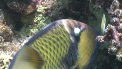Titan triggerfish (Balistoides viridescens) close biting coral with other reef fish - PART