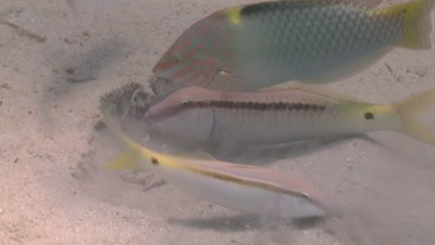 Close Yellowfin goatfish (Mulloides vanicolensis) feeds, wrasse nearby