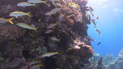 School of Yellowfin goatfish (Mulloides vanicolensis) close