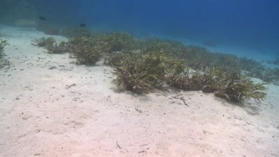Move through sea grass to find blue spotted ray (Taeniura lymma) - PART