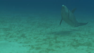 Bottlenose dolphin (Tursiops truncatus) in shallow water, brief at start best., Roatan Island, Honduras