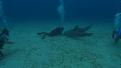 Habituated bottlenose dolphin (Tursiops truncatus) swims brief., Roatan Island, Honduras