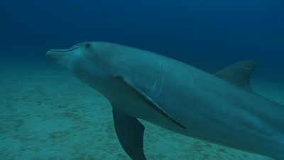 Habituated bottlenose dolphin (Tursiops truncatus) swims to camera then interacts with divers (some uncleared) near sea floor., Roatan Island, Honduras