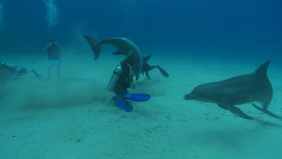Habituated bottlenose dolphin (Tursiops truncatus) interacts with divers (some uncleared) then excretes near Liam Allan (cleared) near sea floor., Roatan Island, Honduras