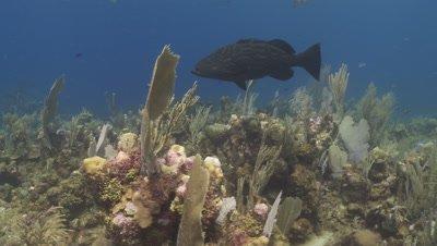 Black grouper (Mycteroperca bonaci) sgt majors and other reef fish, Roatan Island, Honduras