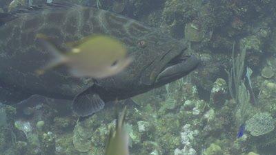 Black grouper (Mycteroperca bonaci) swims, Roatan Island, Honduras