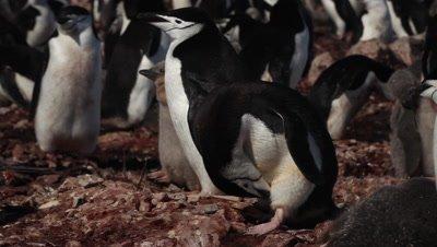 Chinstrap penguin (Pygoscelis antarcticus) colony, adults preening, Antarctica