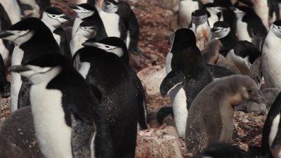 Chinstrap penguin (Pygoscelis antarcticus) colony, pan left, Antarctica