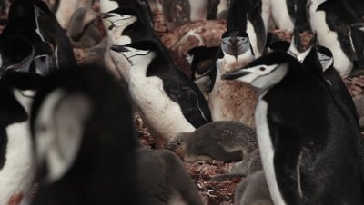 Chinstrap penguin (Pygoscelis antarcticus) colony, Antarctica