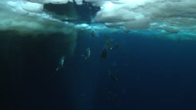 Emperor penguins (Aptenodytes forsteri) swimming near the ice edge and diving, some exit water with bubble trails, underwater, Cape Washington, Antarctica