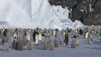 Emperor penguins (Aptenodytes forsteri), chicks and adults at colony, Cape Washington, Antarctica