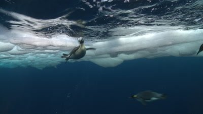 Emperor penguins (Aptenodytes forsteri) swimming at surface and looking into the depths and diving, underwater, Cape Washington, Antarctica