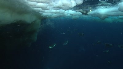 Emperor penguins (Aptenodytes forsteri) swimming to the surface and diving near ice edge, underwater, Cape Washington, Antarctica