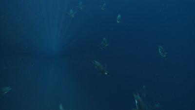 Emperor penguins (Aptenodytes forsteri) swimming under camera, underwater, Cape Washington, Antarctica