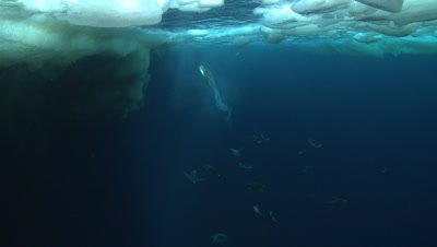 Emperor penguins (Aptenodytes forsteri) swimming near the ice edge and exiting water, some bubble trails, underwater, Cape Washington, Antarctica