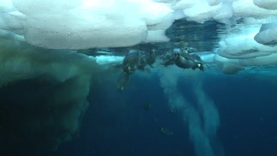 Emperor penguins (Aptenodytes forsteri) swimming near the ice edge and surfacing, some exiting water, some bubble trails, underwater, Cape Washington, Antarctica