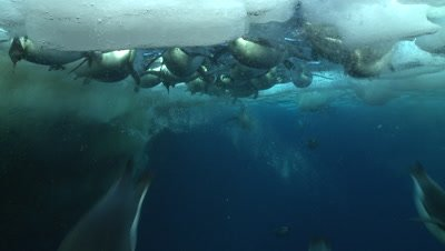 Emperor penguins (Aptenodytes forsteri) swimming near the ice edge, surfacing and diving, some bubble trails, underwater, Cape Washington, Antarctica