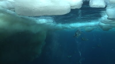 Emperor penguins (Aptenodytes forsteri) swimming to the surface and out of water, some bubble trails, underwater, Cape Washington, Antarctica