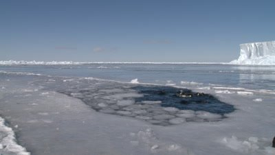 Emperor penguins (Aptenodytes forsteri) swimming, preening and diving in hole in sea ice, one hops out, Cape Washington, Antarctica