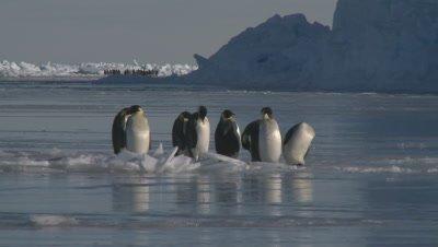 Emperor penguins (Aptenodytes forsteri) preening on sea ice, Cape Washington, Antarctica