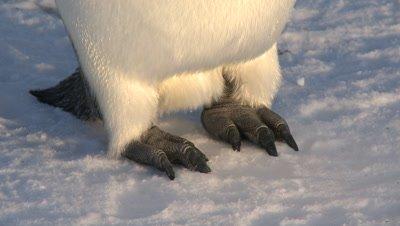 Emperor penguin (Aptenodytes forsteri) feet on snow, Cape Washington, Antarctica