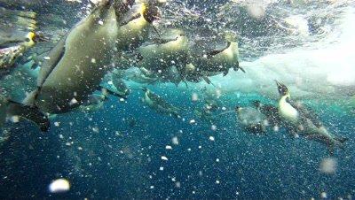 Emperor penguins (Aptenodytes forsteri) surfacing and diving at ice hole, underwater, Cape Washington, Antarctica